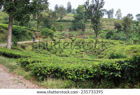 Tea plantation in Indonesia with road - stock photo