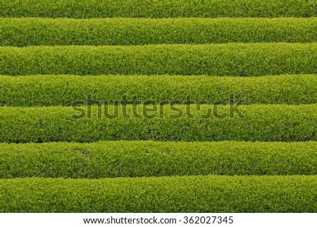 Tea plantation in Japan - stock photo