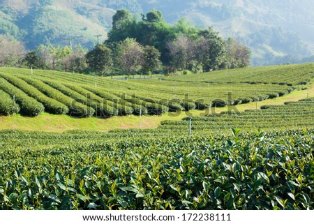 Tea plantation in morning sunlight, north Thailand  - stock photo