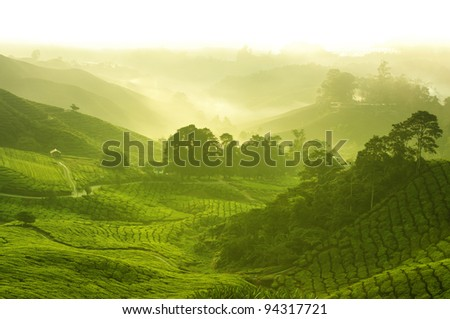 Tea plantation in  morning view, cameron highland malaysia - stock photo