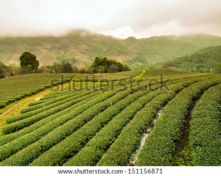 Tea plantation in north of Thailand