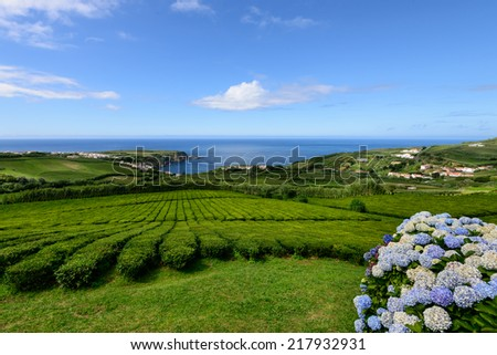 Tea plantation in Porto Formoso on the north coast of the island of sao miguel. The Azores are one of the main tourist destinations for holidays in Portugal. - stock photo