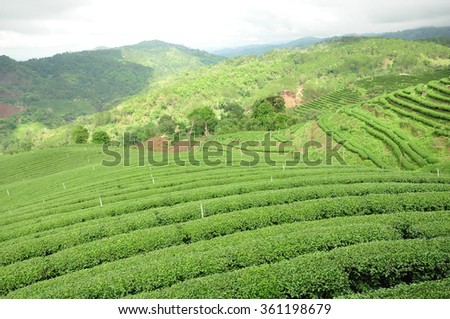 Tea plantation in raining season, Chieng Rai, Thailand