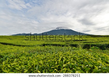 Tea plantation in Sumatra Island, Indonesia - stock photo