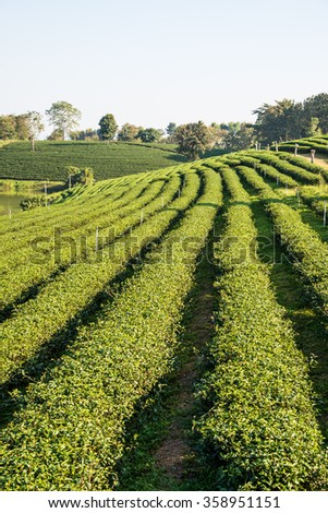 Tea Plantation in Thai, Thailand