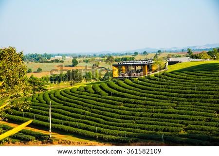 Tea Plantation in Thai, Thailand - stock photo
