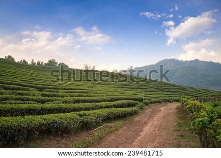 Tea plantation in Thailand - stock photo