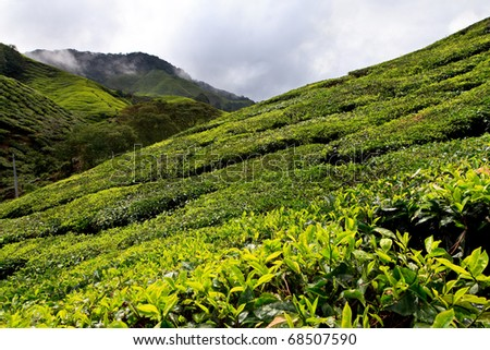 Tea plantation in the Cameron Highlands in Malaysia - stock photo