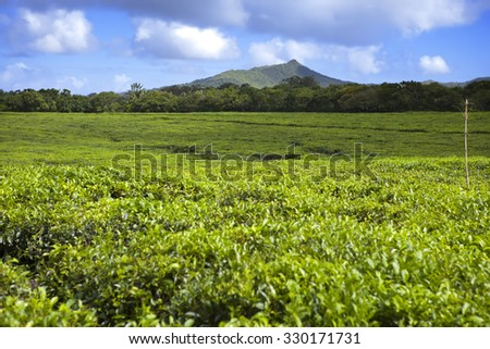 Tea plantation in the foothills. Mauritius - stock photo