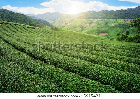 Tea plantation in the mountain in Thailand