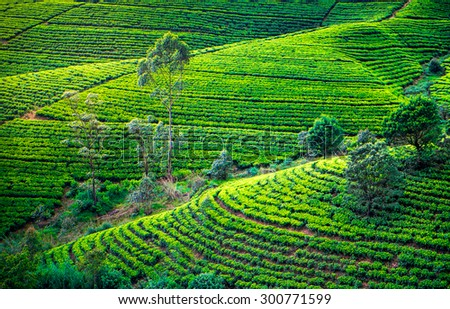 Tea plantation in with trees. Beautiful landscape - stock photo
