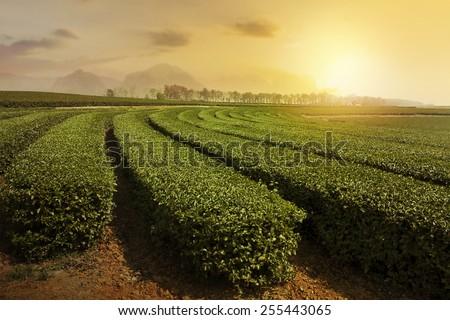 Tea plantation landscape at sunset  - stock photo