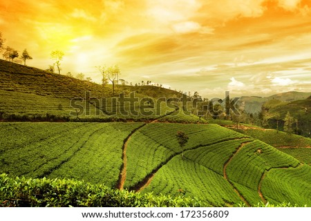 tea plantation landscape sunset - stock photo