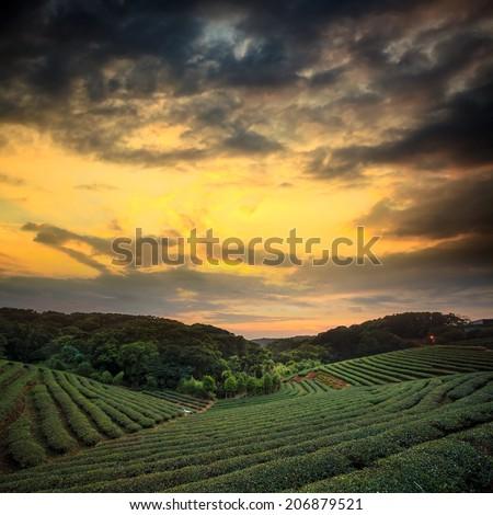 tea plantation landscape sunset for adv or others purpose use - stock photo