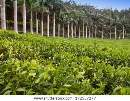 Tea plantation. Mauritius - stock photo