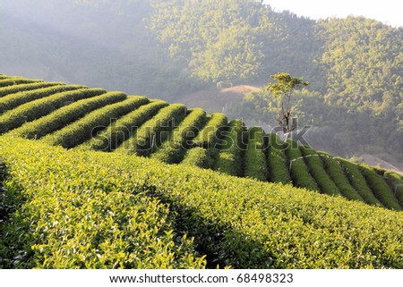 tea plantation ,North of thailand - stock photo