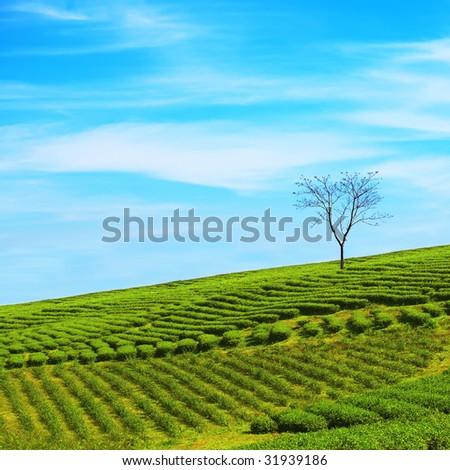 Tea plantation on central highland in Vietnam. - stock photo