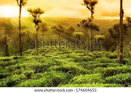 tea plantation sunset landscape - stock photo