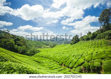 Tea Plantation the Cameron Highlands in Pahang, Malaysia  - stock photo