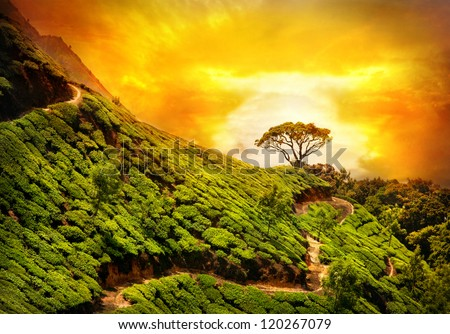Tea plantation valley at dramatic orange sunset sky in Munnar, Kerala, India - stock photo