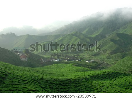 Tea Plantation with fog - stock photo