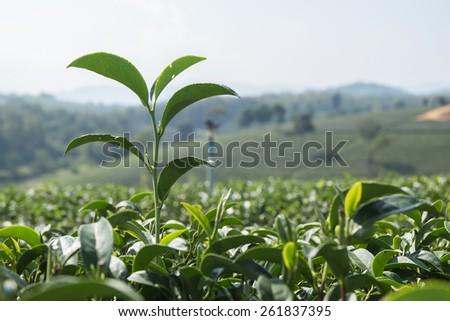 Tea plantations. - stock photo