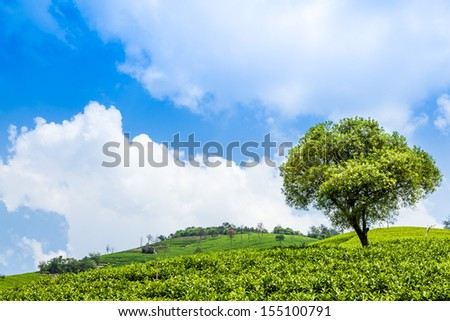 Tea plantations and trees on the hill