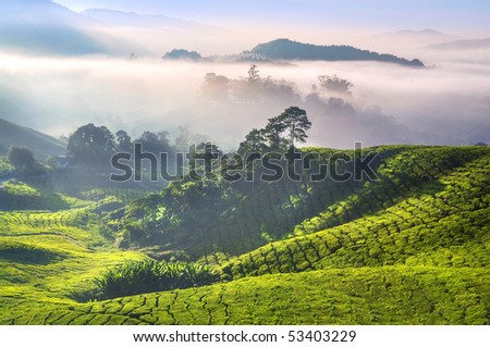 Tea Plantations at Cameron Highlands Malaysia. Sunrise in early morning with fog. - stock photo