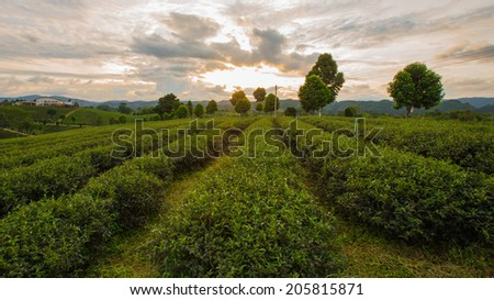 Tea Plantations at  ChangRai Highlands during sunset, Thailand - stock photo