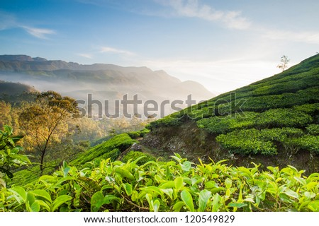 Tea Plantations in India. Early morning with fog - stock photo