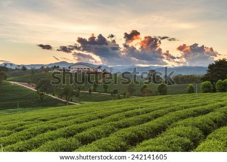 Tea plantations in morning - stock photo