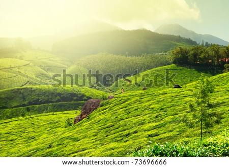 Tea plantations in morning fog. Munnar, Kerala, India - stock photo