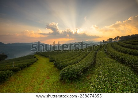 Tea plantations in morning light