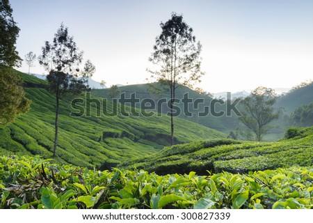 Tea plantations in Munnar, Kerala, India - stock photo