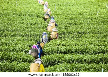 Tea plantations in Thailand. - stock photo