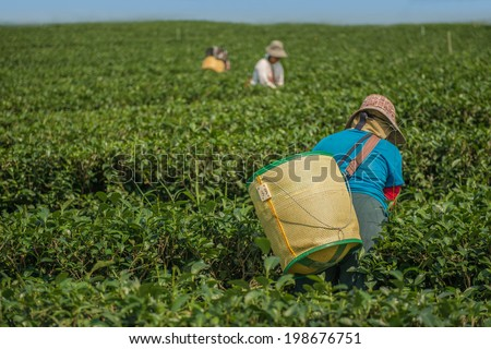 Tea plantations in Thailand - stock photo