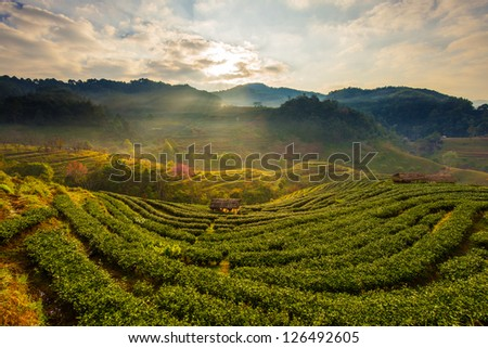 Tea plantations in the morning at Thailand - stock photo