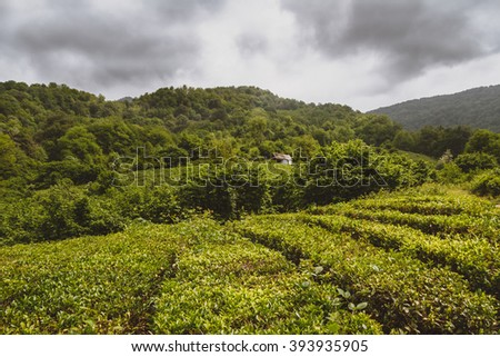 Tea plantations of Solokh-aul (Greater Sochi). The Krasnodar tea - the most northern tea in the world - stock photo
