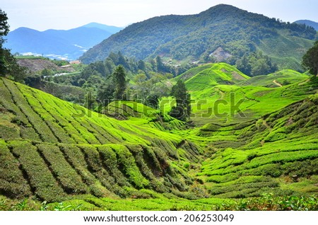 Tea Plantations on the Mountain at Cameron Highlands, Malaysia - stock photo