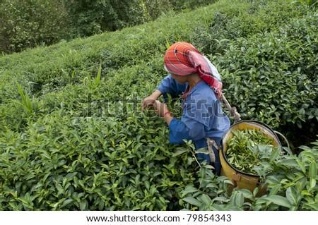 Tea plucker - stock photo