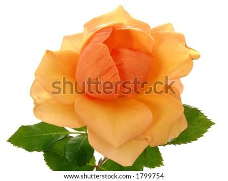 Tea Rose - Chicago Peace - isolated on white background - stock photo