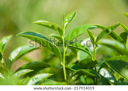 tea tree in natural field  - stock photo