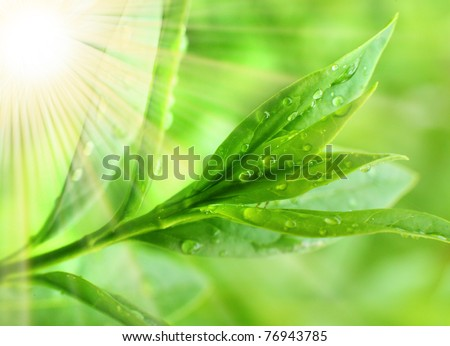 Tea tree (Thea sinensis). The leaves have been used in alternative medicine and other medical systems to treat asthma, angina pectoris, peripheral vascular disease, and coronary artery disease. - stock photo
