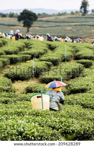 Tea Worker picking tea leaves in a tea plantation - stock photo