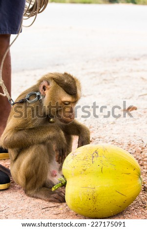 Teaching monkey for taking coconut by human, southern part of Thailand - stock photo