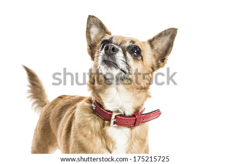 Teacup Chiwawa Dog on white background - stock photo