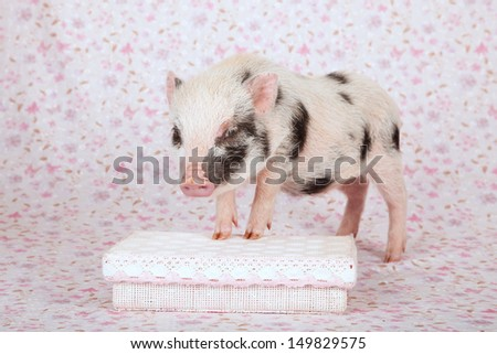 Teacup mini pocket pig standing on pink gift box on pink floral background - stock photo