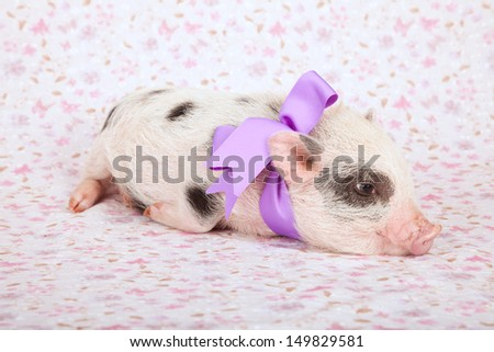 Teacup mini pocket pig with purple ribbon bow on pink floral background - stock photo
