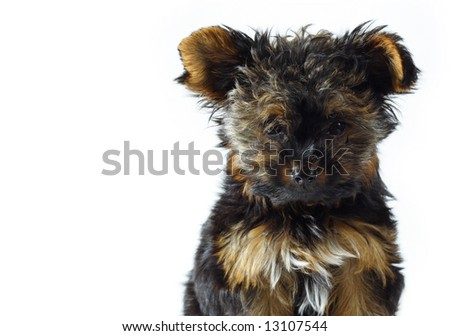 Teacup Yorkie Stock Photo Royalty Free 13107544 Shutterstock