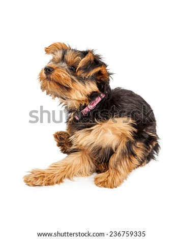 Teacup Yorkie dog sitting and scratching and itch - stock photo